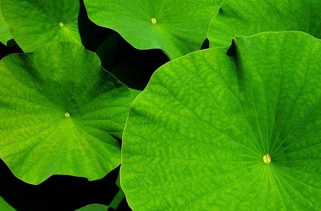 lotosové listy